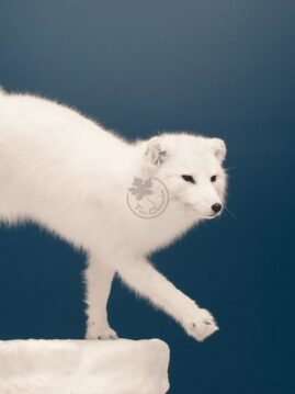 Arctic White Fox Wildlife Mount
