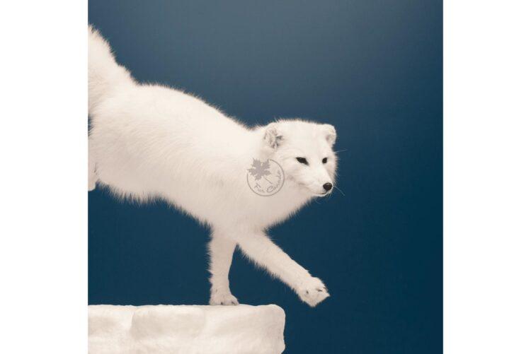 Arctic White Fox Wildlife Mount