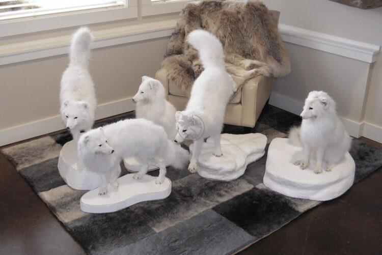 Arctic White Fox Wildlife Mounts