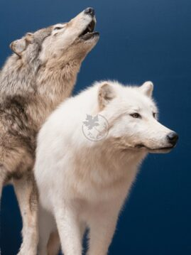 Arctic Wolf Wildlife Mount - Wolf Pair
