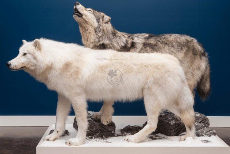 Arctic Wolf Wildlife Mount - Wolf Pair