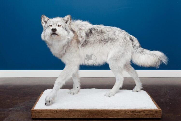 Arctic Wolf Wildlife Mount
