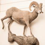 Big Horn Sheep Wildlife Mount