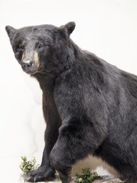 Black Bear Wildlife Mount - Full Mount