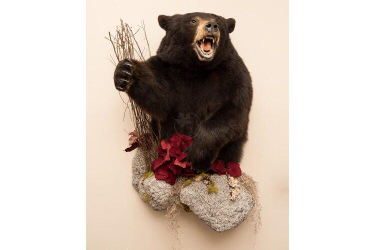 Black Bear Wildlife Mount - Half Mount