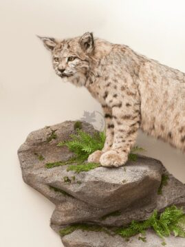 Bobcat Wildlife Mount