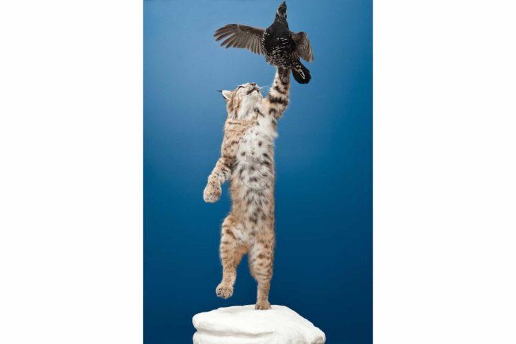 Bobcat Wildlife Mount - With Bird
