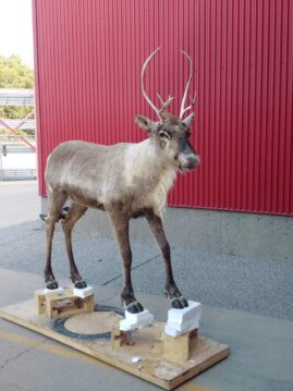 Caribou Wildlife Mount - Full Mount
