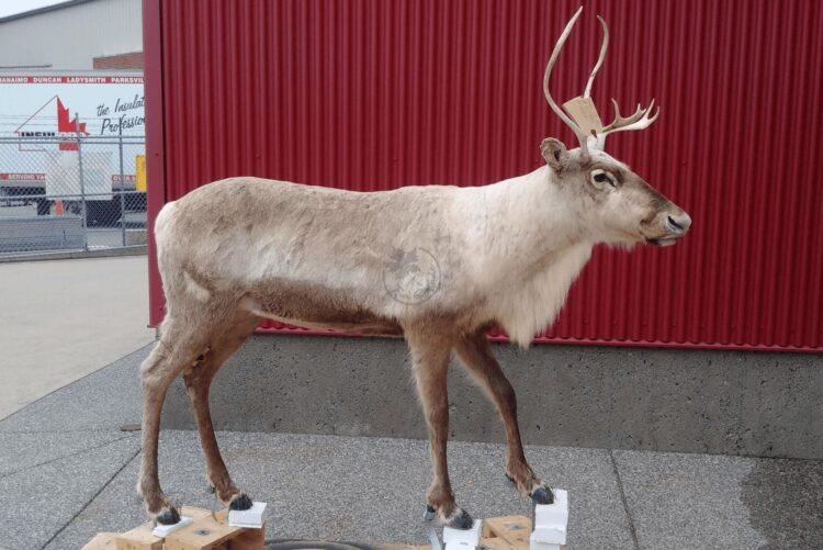 Caribou Wildlife Mount - Full Mount