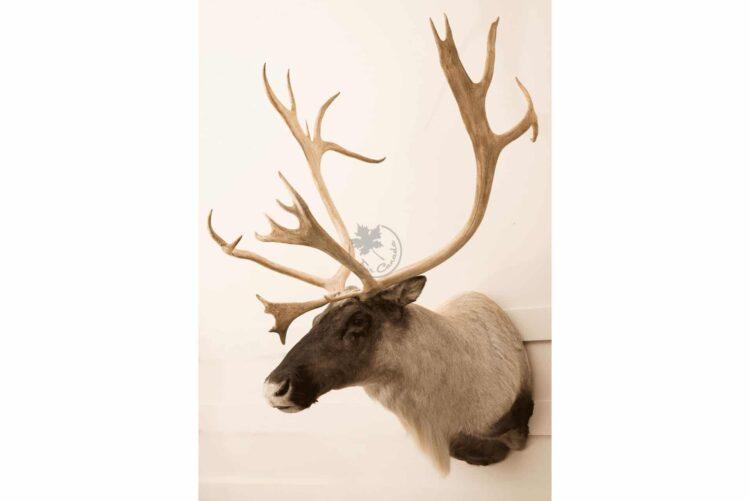 Caribou Wildlife Mount - Shoulder Mount