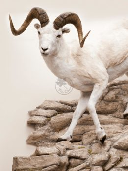 Dall Sheep Wildlife Mount