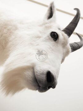 Mountain Goat Wildlife Mount