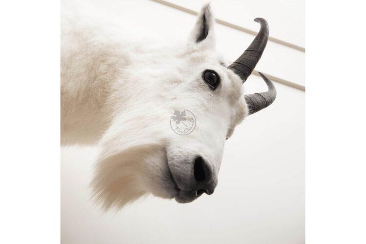 Mountain Goat Wildlife Mount