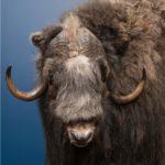 Muskox Wildlife Mount - Pedestal Mount