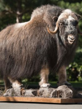 Muskox Wildlife Mount - Life Size