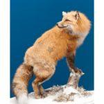 Red Fox Wildlife Mount