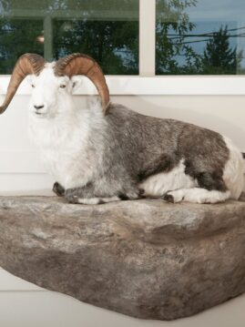 Stone Sheep Wildlife Mount