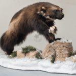 Wolverine Wildlife Mount