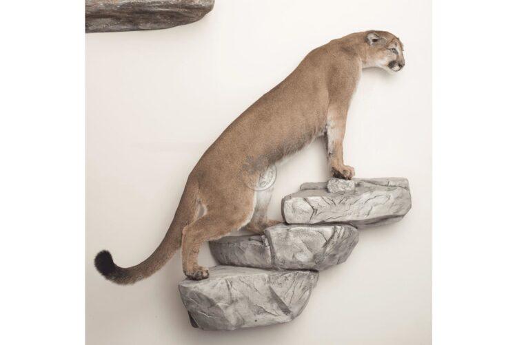 Cougar Wildlife Mount - Any Pose
