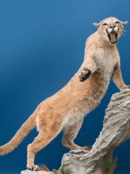 Cougar Wildlife Mount - Any Pose