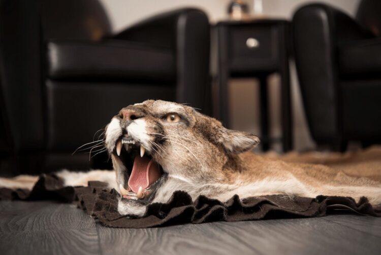 Cougar Skin Rug