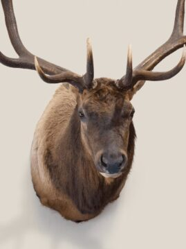 Elk Wildlife Mount - Shoulder Mount