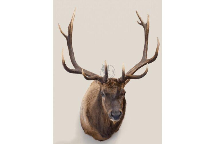 Elk Wildlife Mount - Shoulder Mount