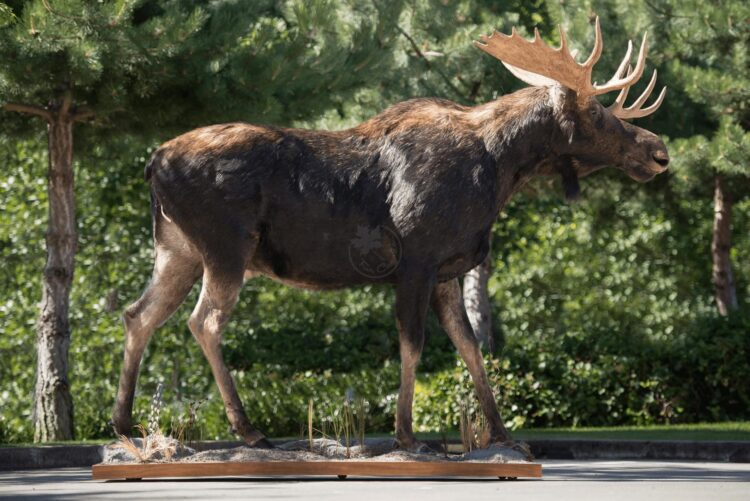 Moose Wildlife Mount - Full Mount