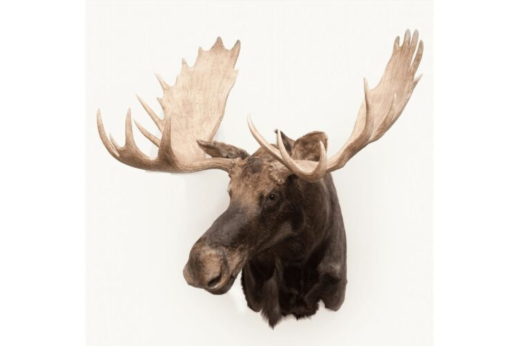 Moose Wildlife Mount - Shoulder Mount