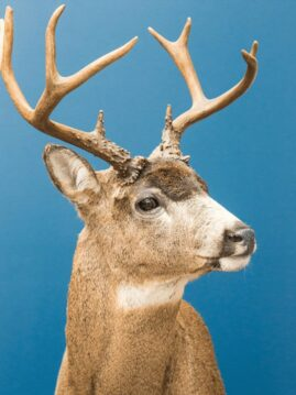 Whitetail Deer Wildlife Mount - Shoulder Mount