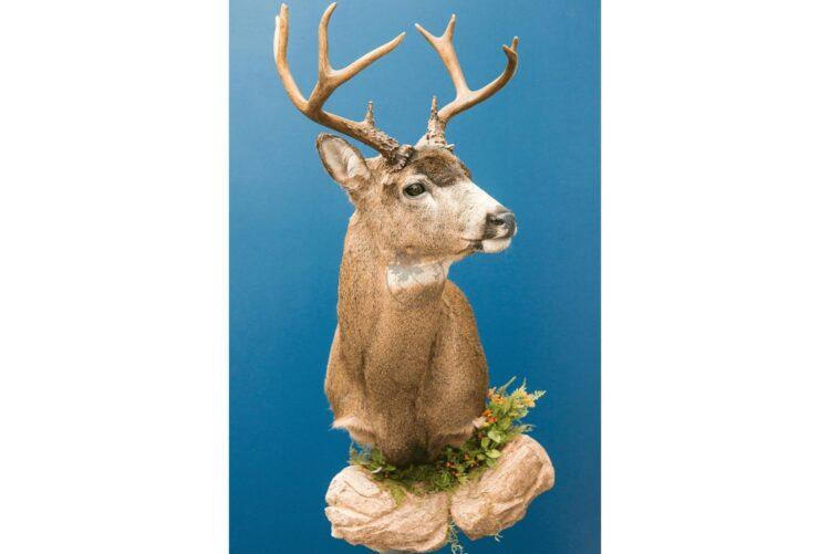 Whitetail Deer Wildlife Mount - Shoulder Mount