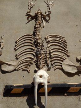 Walrus Skeleton