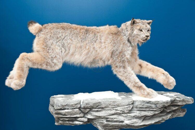 Canada Lynx Wildlife Mount