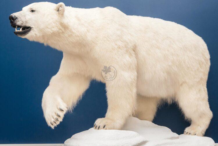 Polar Bear Wildlife Mount