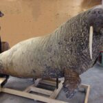 Walrus Wildlife Mount